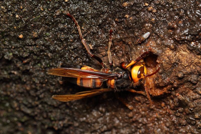 スズメバチの一種