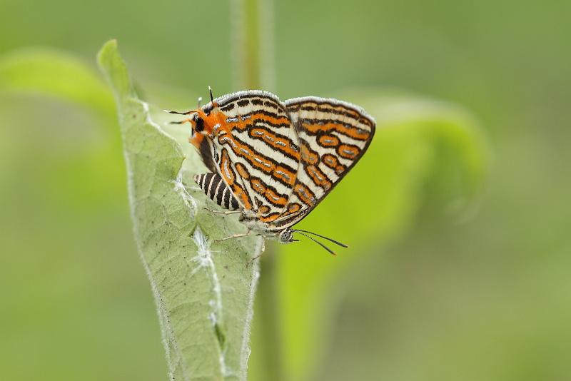 S.vulcanus