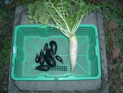 今日の収穫12・21 茄子の最期と小さい大根