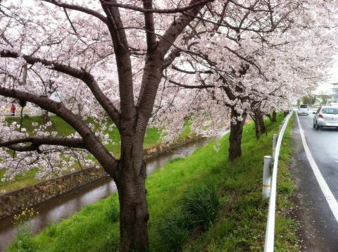 桜並木です