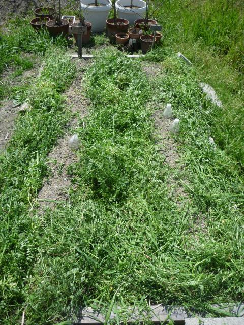 雑草でマルチ