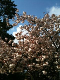 八重桜、満開!
