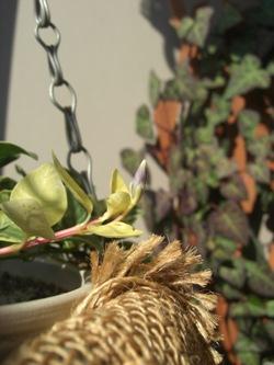 ヒメツルニチニチソウの花芽