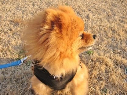 ライオンのような