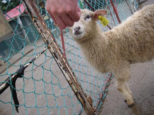 羊に餌をやる