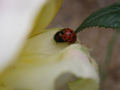 天道虫とバラ