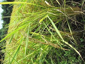 稲刈り_0929