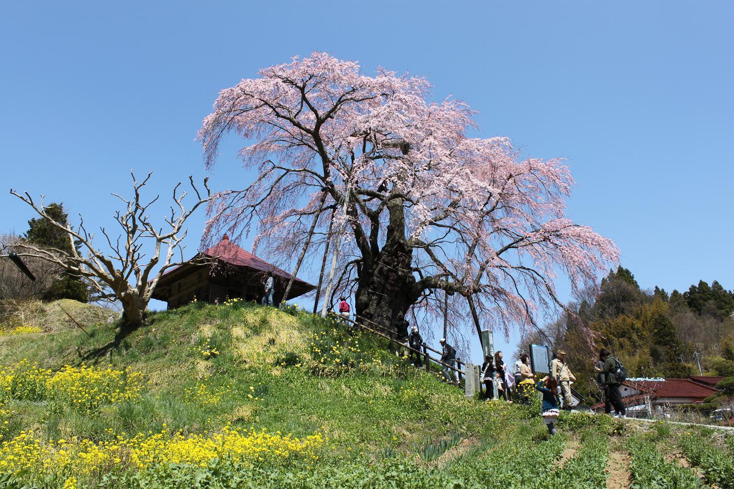 不動桜IMG_5737