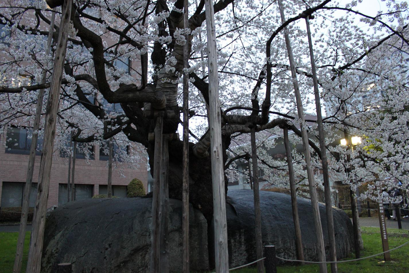 石割桜IMG_5807