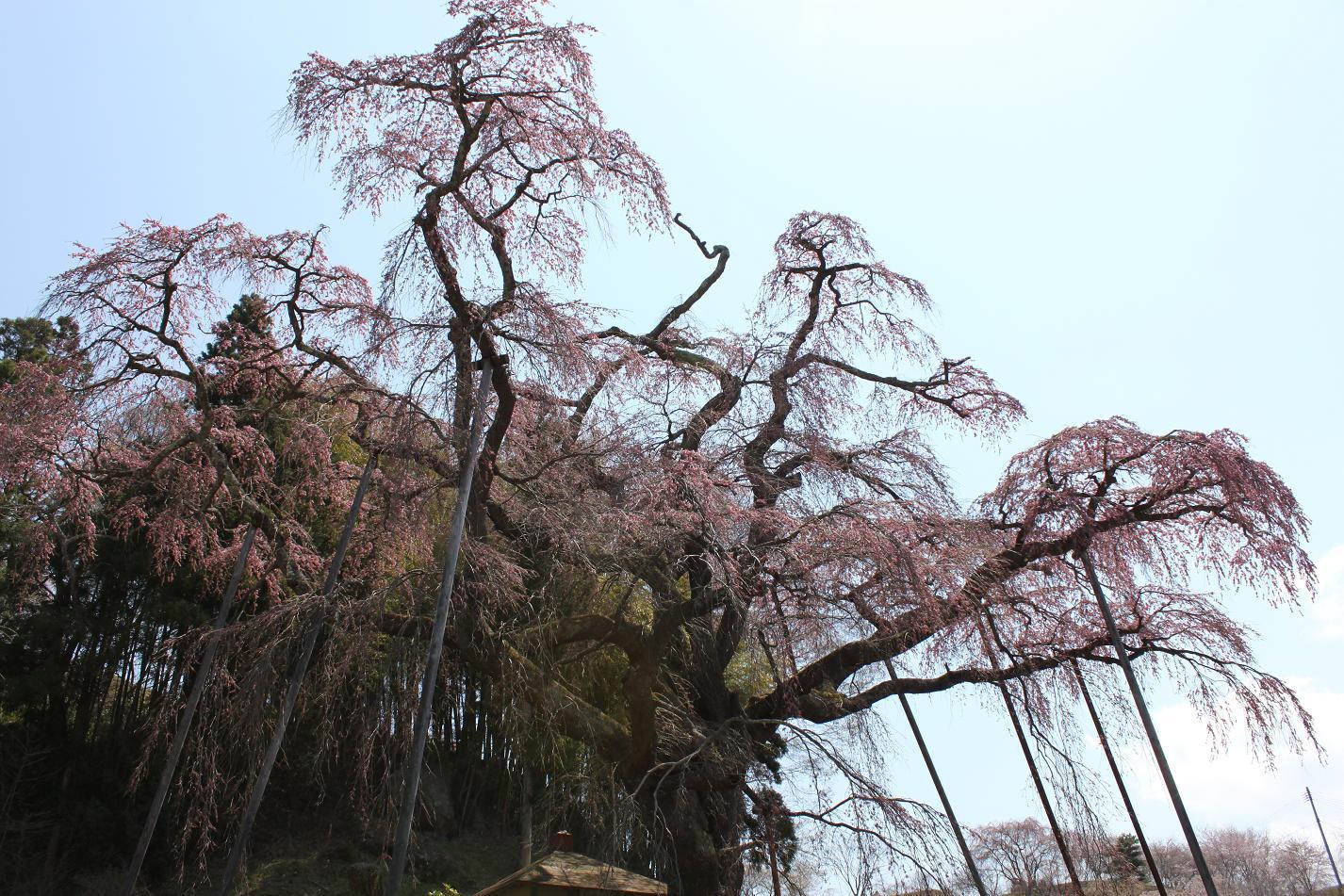 地蔵桜IMG_5754