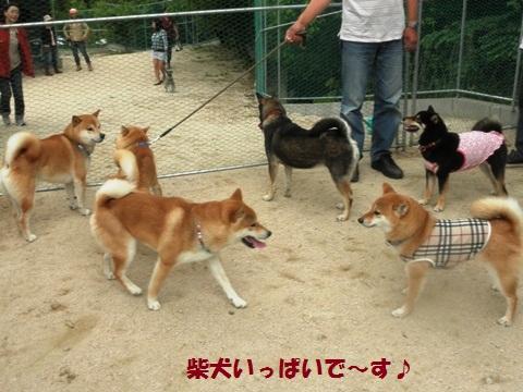 柴犬いっぱい!
