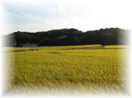 2009年10月稲の穂