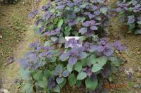 花岩山林花園餐廳の紫蘇