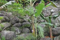 花岩山林花園餐廳の野生バナナ