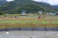 台東關山のお花畑