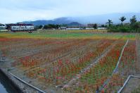 風車側から見た台東關山のお花畑