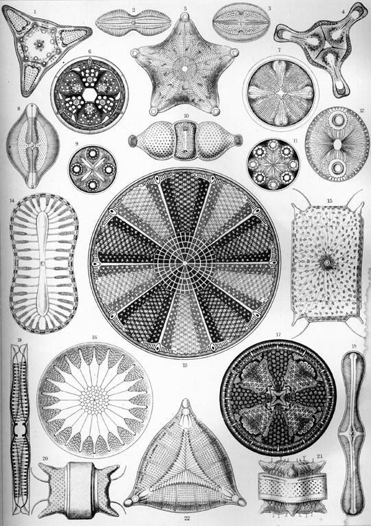 Haeckel_Diatomea_4.jpg