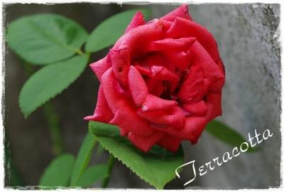 rose 018