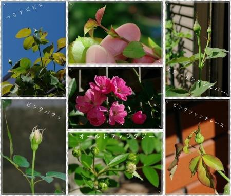 rose 023-vert-horz