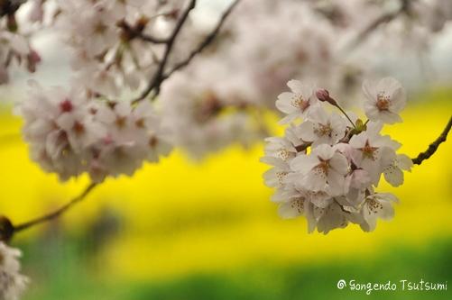 権現堂桜堤201104 010