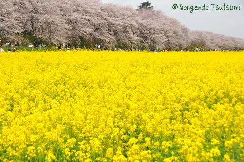 権現堂桜堤201104 138
