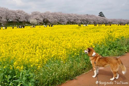 権現堂桜堤201104 124