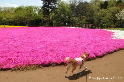 芝桜&チューリップ 千葉 105