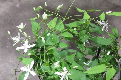T's Garden Healing Flowers‐仙人草