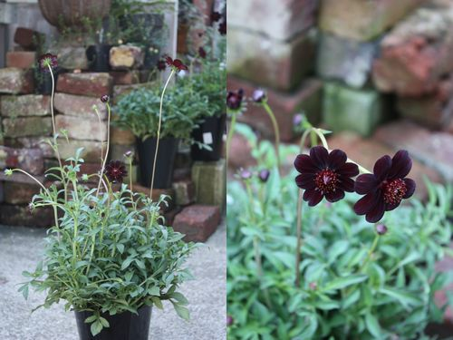T's Garden Healing Flowers‐チョココス『チョカモカ』