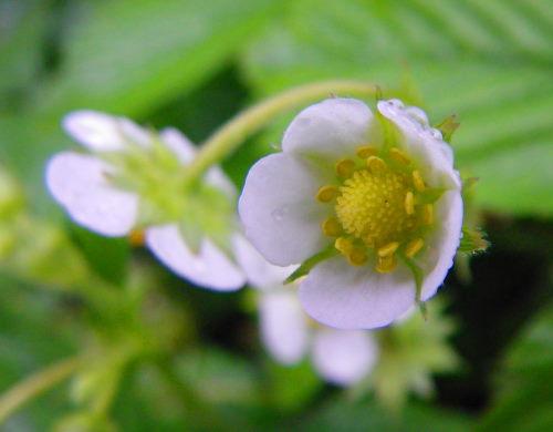 四季咲きイチゴ63