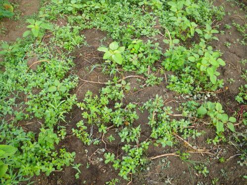 ジャガイモ畑718