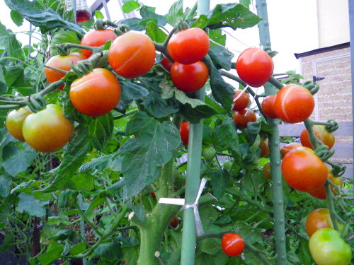 フルーツトマト721