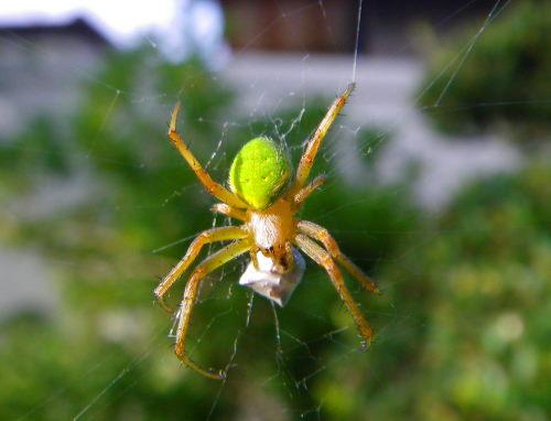 蜘蛛723