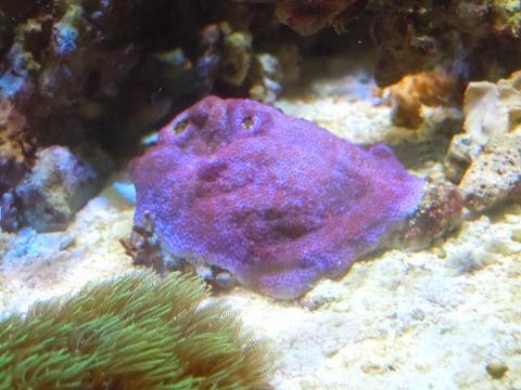 ウスコモン紫11003