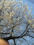 桜2011 朝