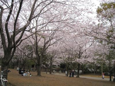 aobasakura-3.jpg