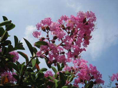090825サルスベリ花(ピンク)