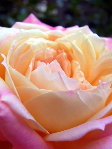 furukawa(aut)-rose1