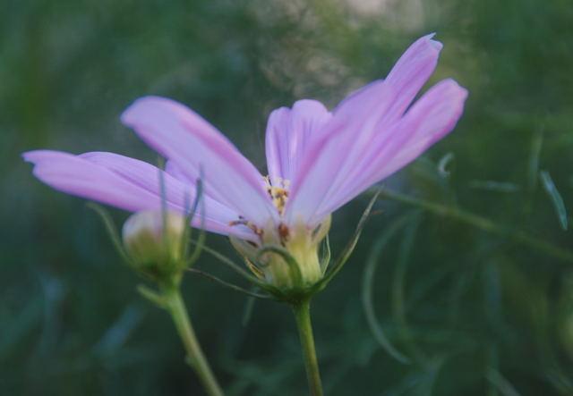 pinkukosumosu2