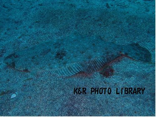 砂地のヒラメ