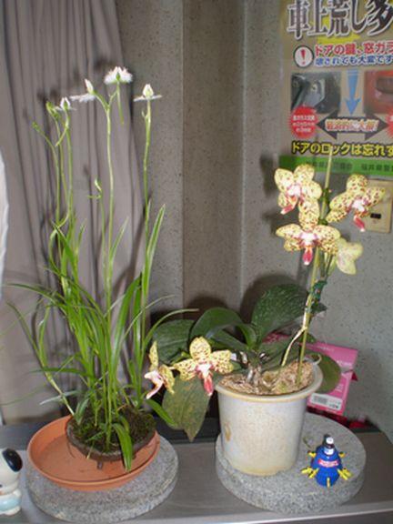 さぎ草と胡蝶蘭