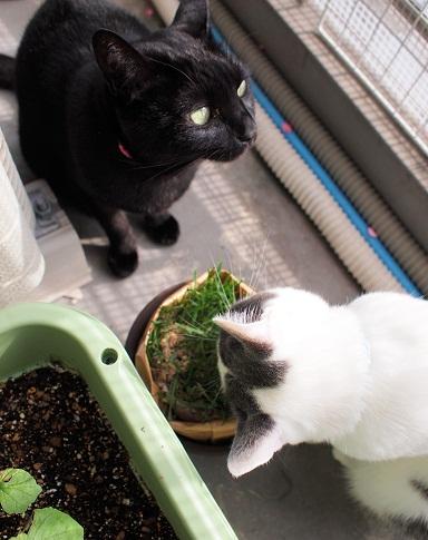 猫草&Tico&プラム