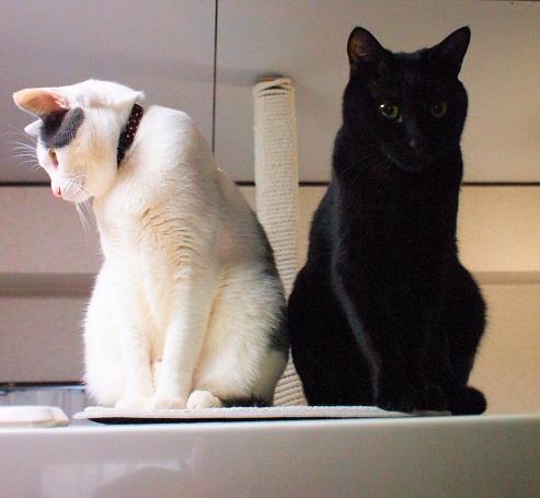 白系猫&黒猫