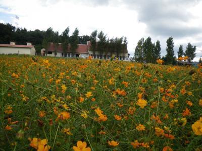 キバナコスモス畑