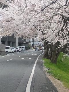 110409 旭川土手道 桜