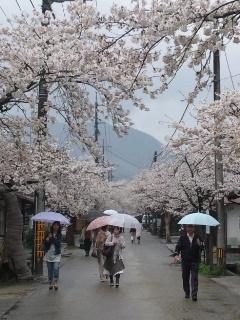 110427 新庄村 凱旋桜1