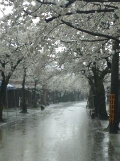 110427 新庄村 凱旋桜2