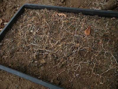 種蒔き151日後のスーパーグリーンベルト