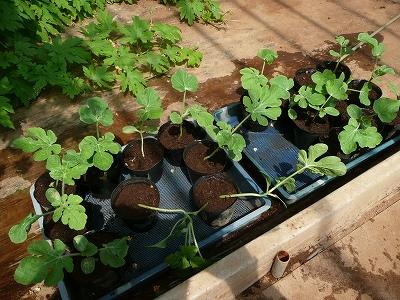 種蒔き15日後のポット蒔き西瓜