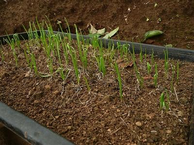 種蒔き156日後のスーパーグリーンベルト